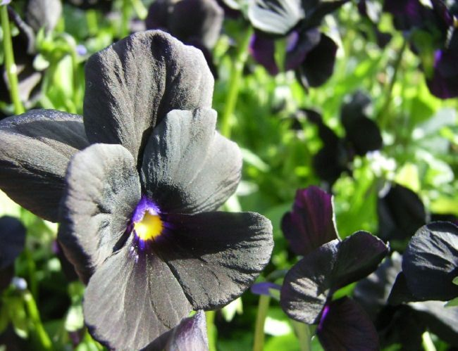 Violas U0027Molly Sandersonu0027 Are Another Excellent Option To Enjoy Flowers In  Black Color, Can Be Grown In Both On The Ground Or In Containers, Flowers  Appear ... Gallery