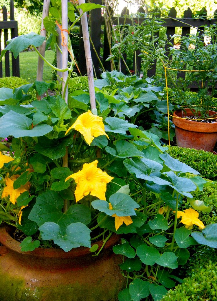 growing pumpkin in pot