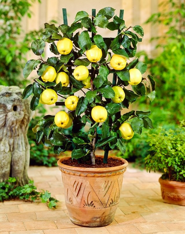 Best fruits to grow in pots fruits for containers for Growing a lemon tree in a pot from seed