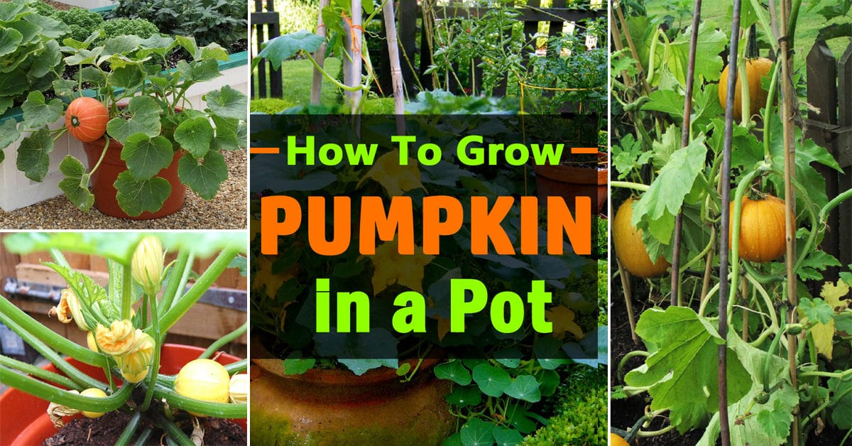 Growing pumpkins in containers how to grow pumpkins in for Planting a garden