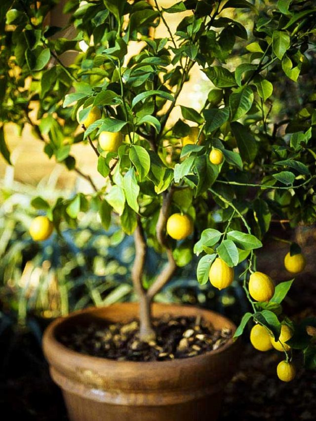 Best Fruits To Grow In Pots | Fruits For Containers | Balcony ...