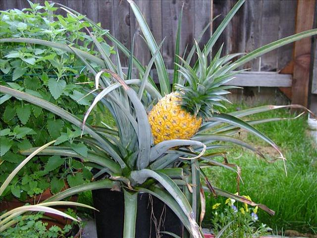 Best fruits to grow in pots fruits for containers for How to plant a pineapple top in a pot