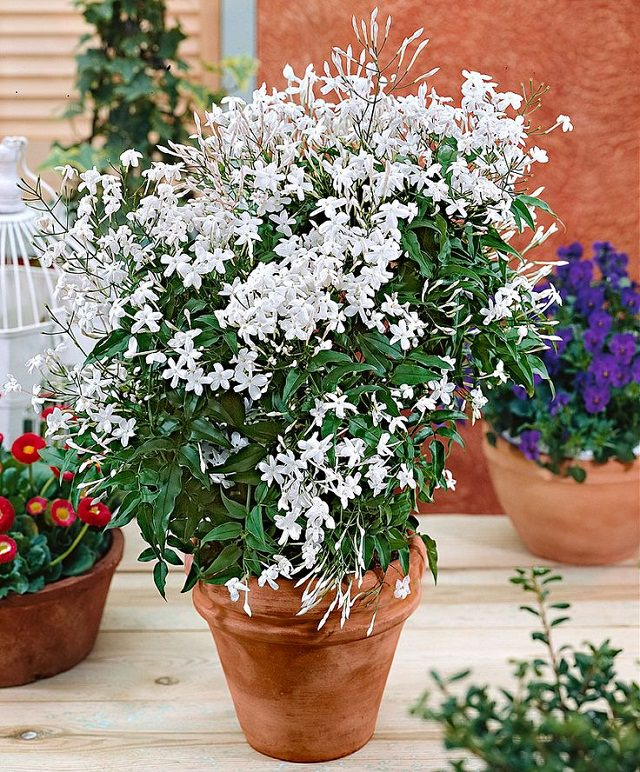 24 best vines for containers climbing plants for pots balcony garden web. Black Bedroom Furniture Sets. Home Design Ideas