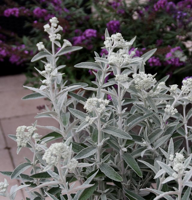 silvery white in appearance
