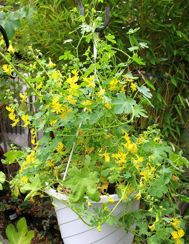 24 best vines for containers climbing plants for pots balcony let this annual vine ramble up on a trellis and it will award you with its showy yellow flowers that look unmatchable the canary creeper has long blooming mightylinksfo
