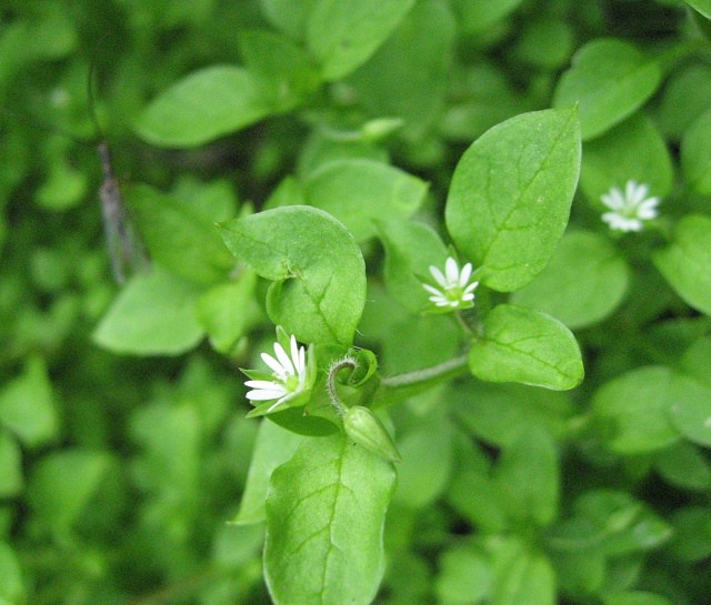 Best edible weeds you didnt know you could eat balcony garden web chickweed grows in a unique intertwined manner and it has small white star shaped flowers the stems have a thin line of white hair that grows in a mightylinksfo Choice Image