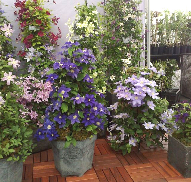 clematis is the perfect plant to add vertical height and interest to any container garden plant clematis in a large container - Climbing Plants