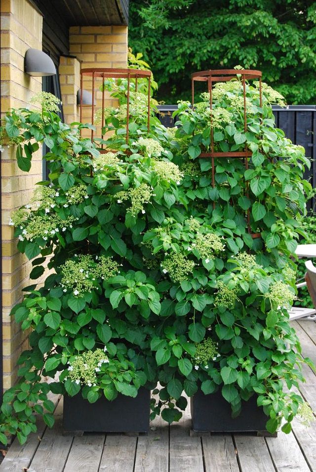 best vines for containers  climbing plants for pots  balcony, Natural flower