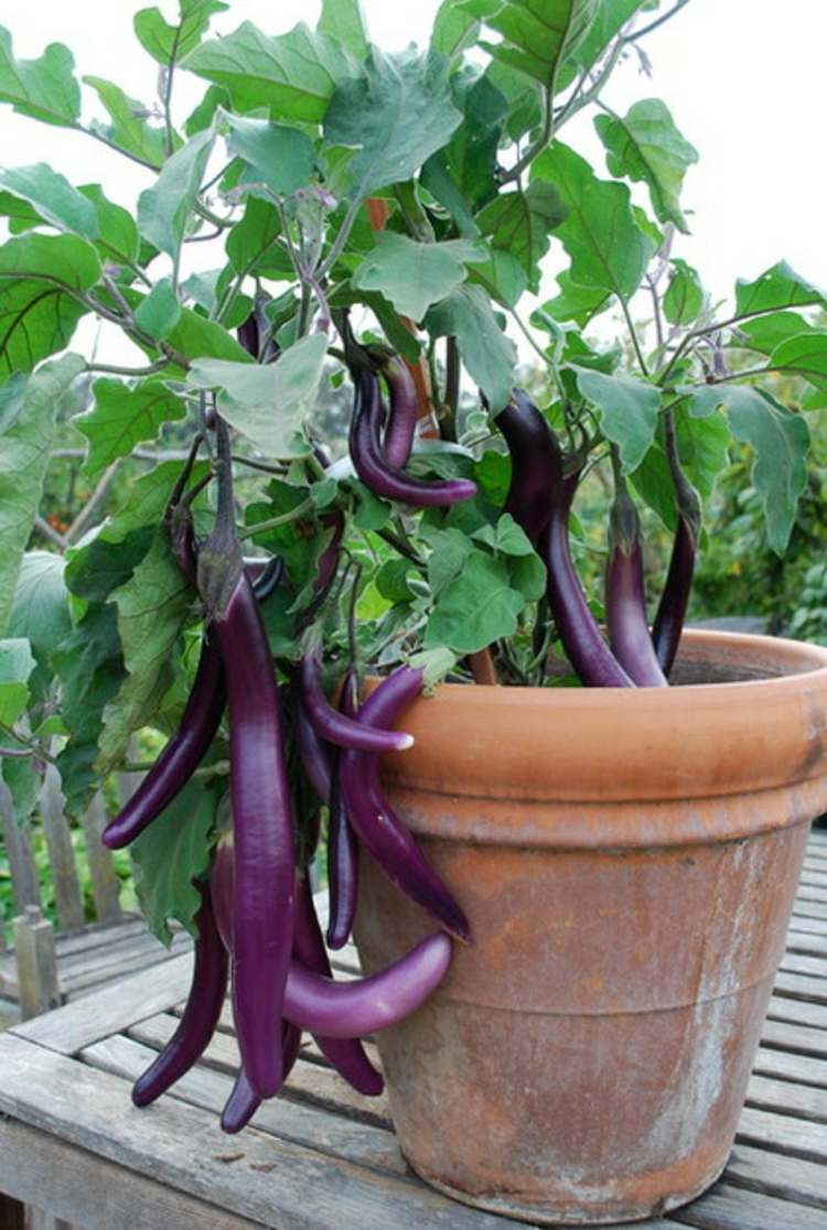 Although Eggplants Are Susceptible To Many Garden Pests, Still Growing Them  Is Easy. They Are Heat Loving Plants And Need High Temperatures Both Day  And ...