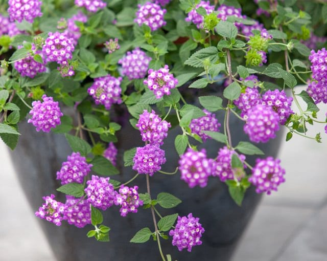 Best plants for hanging baskets balcony garden web the lantana flowers are fragrant colorful pleasing attract pollinators but invasive perennial in warm frost free areas mightylinksfo