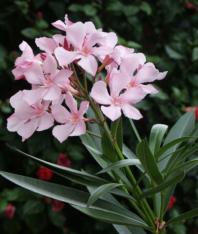 24 best drought tolerant plants that grow in lack of water balcony oleander is a tropical shrub that blooms prolifically it produces beautiful fragrant flowers of different colors like yellow pink red white and purple mightylinksfo