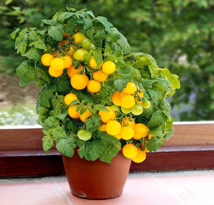 Best vegetables to grow in pots most productive vegetables for tomato in pot workwithnaturefo
