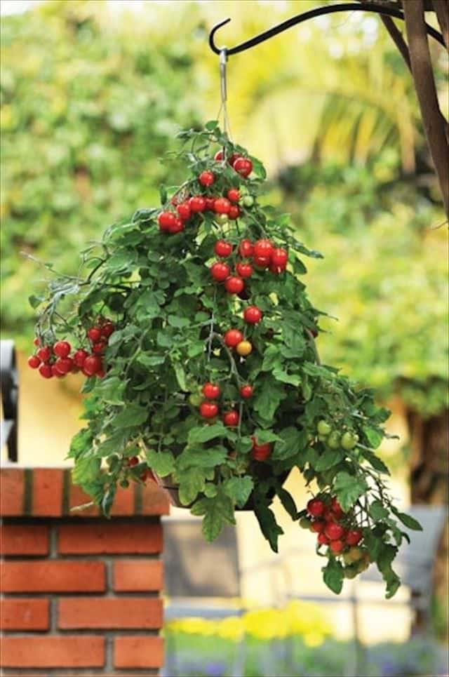 Best plants for hanging baskets balcony garden web - Hanging plants in balcony ...