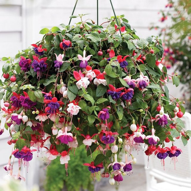Best plants for hanging baskets balcony garden web fuchsia in hanging basket mightylinksfo