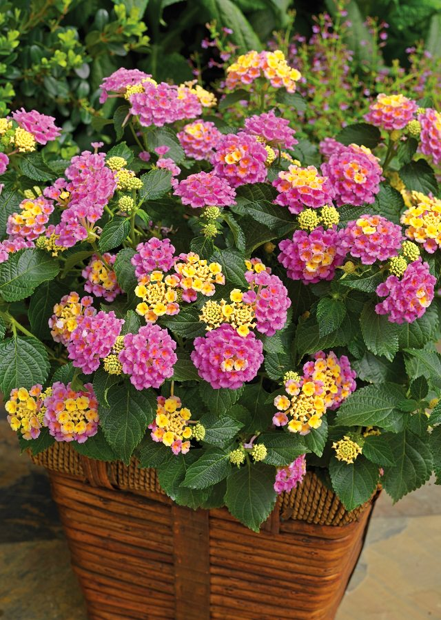 24 best drought tolerant plants that grow in lack of water balcony lantana is a hardy tropical plant grown for its fragrant colorful flowers although it blooms throughout the spring and summer in warmer areas mightylinksfo