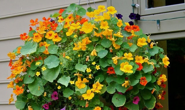 If You Are Looking For A Quick Growing And Low Maintenance Plant Nasturtium Is The Should Consider Trailing Varieties Of Work