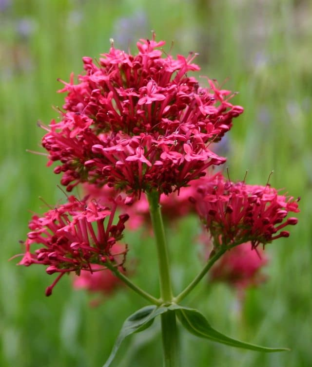 24 best drought tolerant plants that grow in lack of water balcony this drought tolerant plant has fragrant round clusters of flowers that appear from late spring the plant is also complemented by the fleshy blue green mightylinksfo