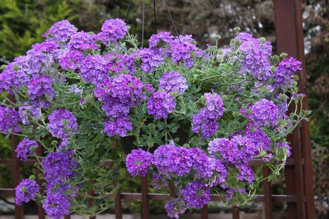 Best plants for hanging baskets balcony garden web in a hanging basket this sun loving plant is suitable for south facing places verbenas come in a variety of colors and shades including pink purple mightylinksfo