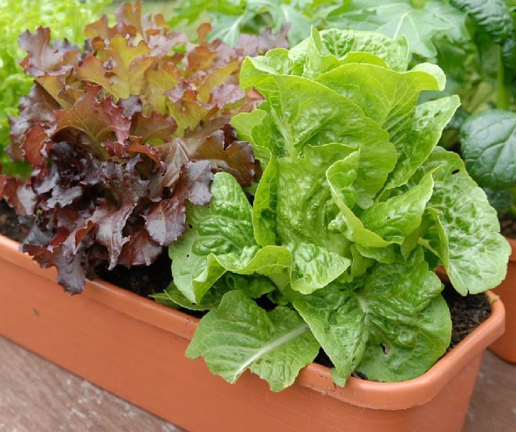 Lettuce Container Garden: Growing Lettuce In Containers