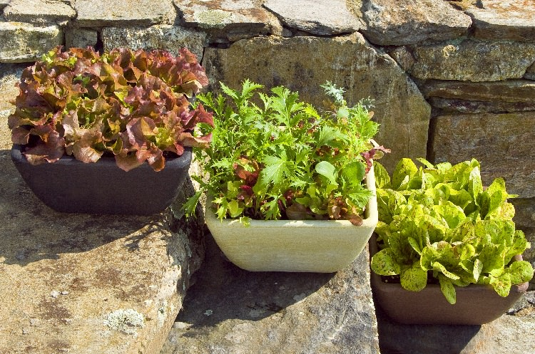 Grow A Garden In Pots Growing lettuce in containers how to grow lettuce in pots growing lettuce in containers workwithnaturefo