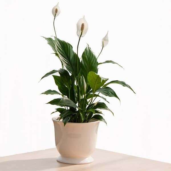 the peace lily is among the easiest plants to grow indoors it can tolerate a wide range of lighting conditions and needs only moderate watering - White Flowering House Plants