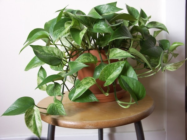 15 Best Houseplants For Beginners | Balcony Garden Web