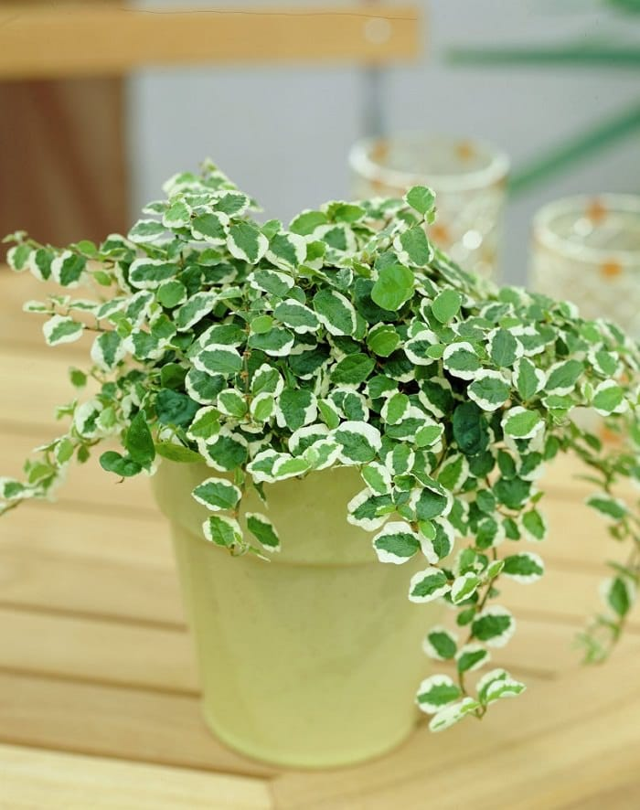 Indoor Vine Plants | Ficus pumila creeping fig