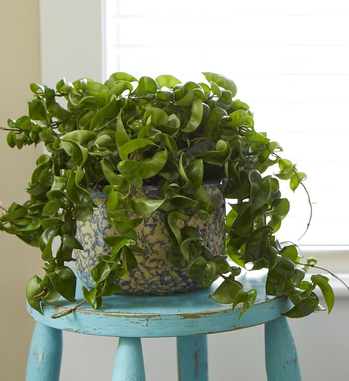 11 Best Indoor Vines And Climbers You Can Grow Easily In Your Home ...