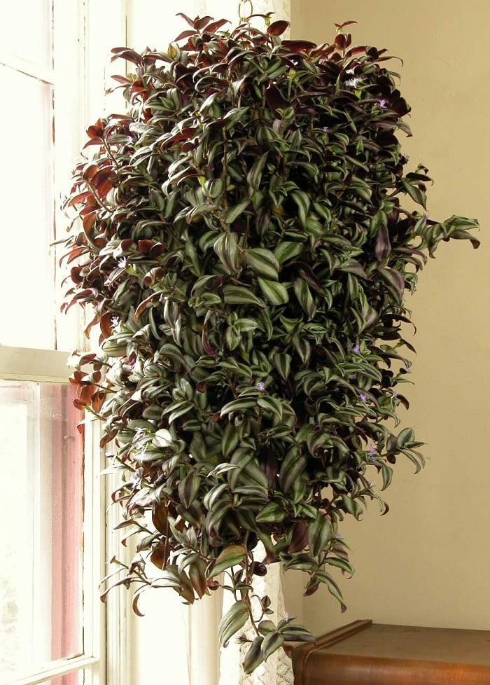 11 best indoor vines and climbers you can grow easily in. Black Bedroom Furniture Sets. Home Design Ideas