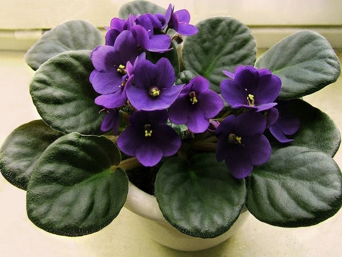 african violets are easy to grow flowering plants that can be grown indoors for their beautiful flowers and foliage they prefer warm climate rather than - Flowering House Plants Purple