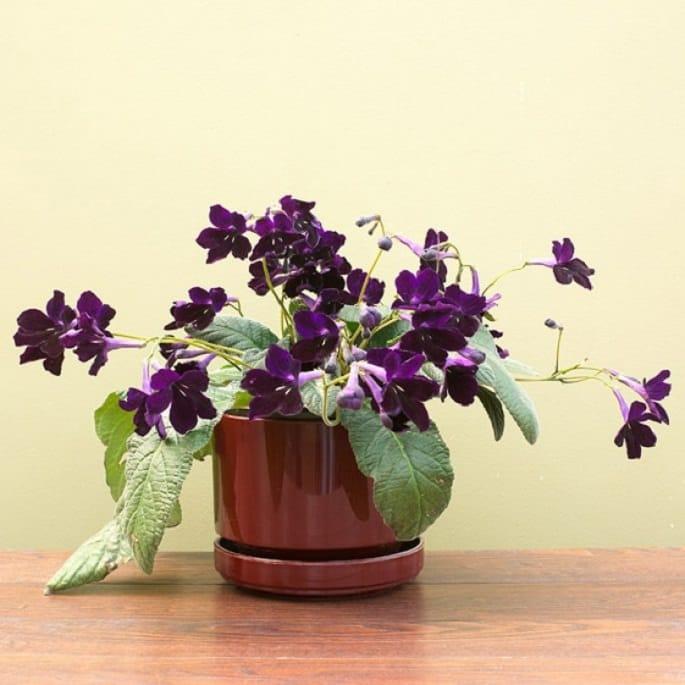 Flowering House Plants Purple 17 best flowering houseplants | balcony garden web