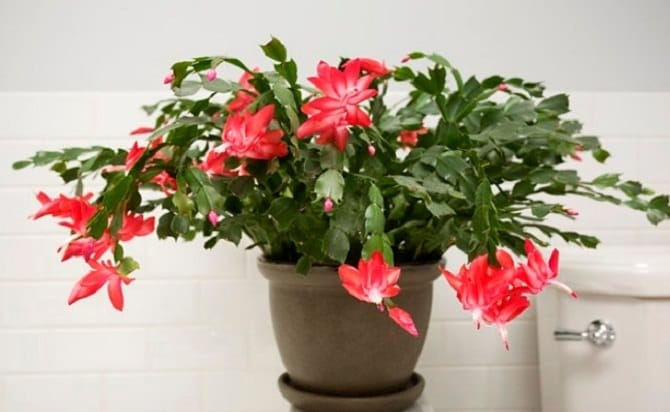 17 best flowering houseplants balcony garden web christmas cactus is an old fashioned favorite houseplant of many when it blooms it creates a warm atmosphere red pink white or orange the lovely mightylinksfo