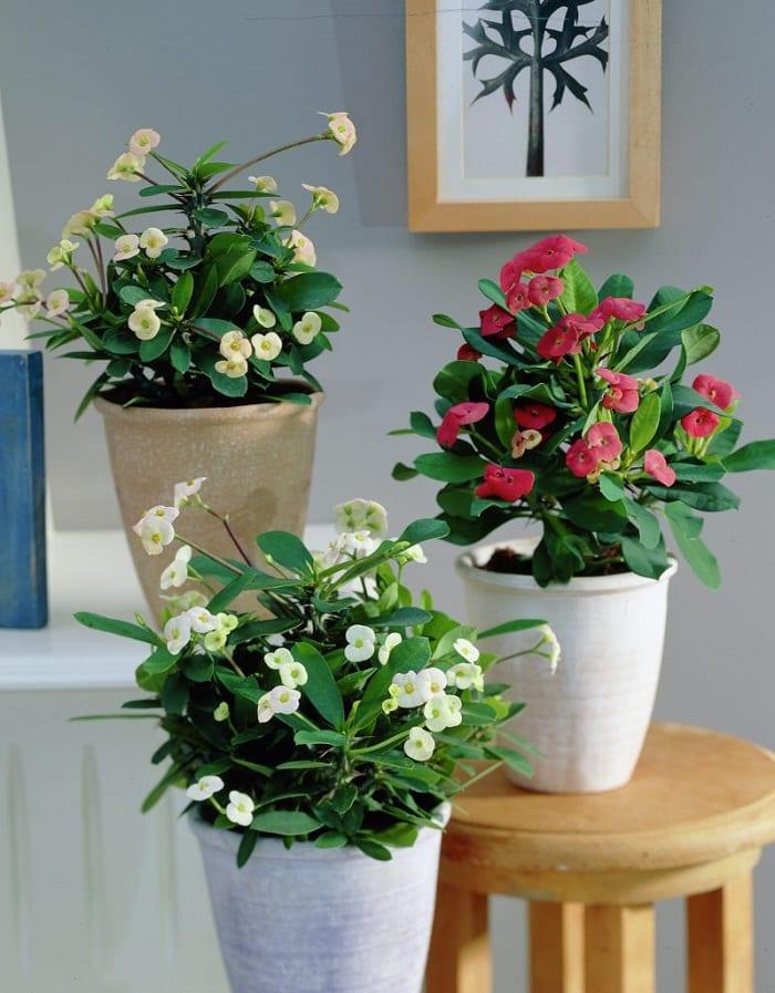 17 best flowering houseplants balcony garden web for Small indoor flowering plants