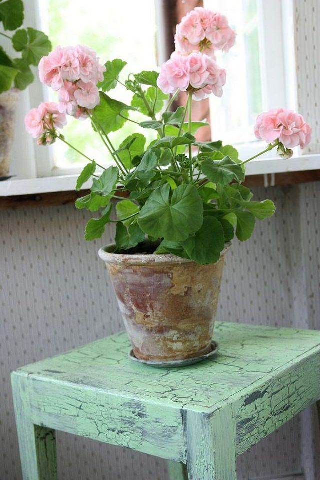 How to grow geranium indoors year round balcony garden web for Flowering plants for indoors