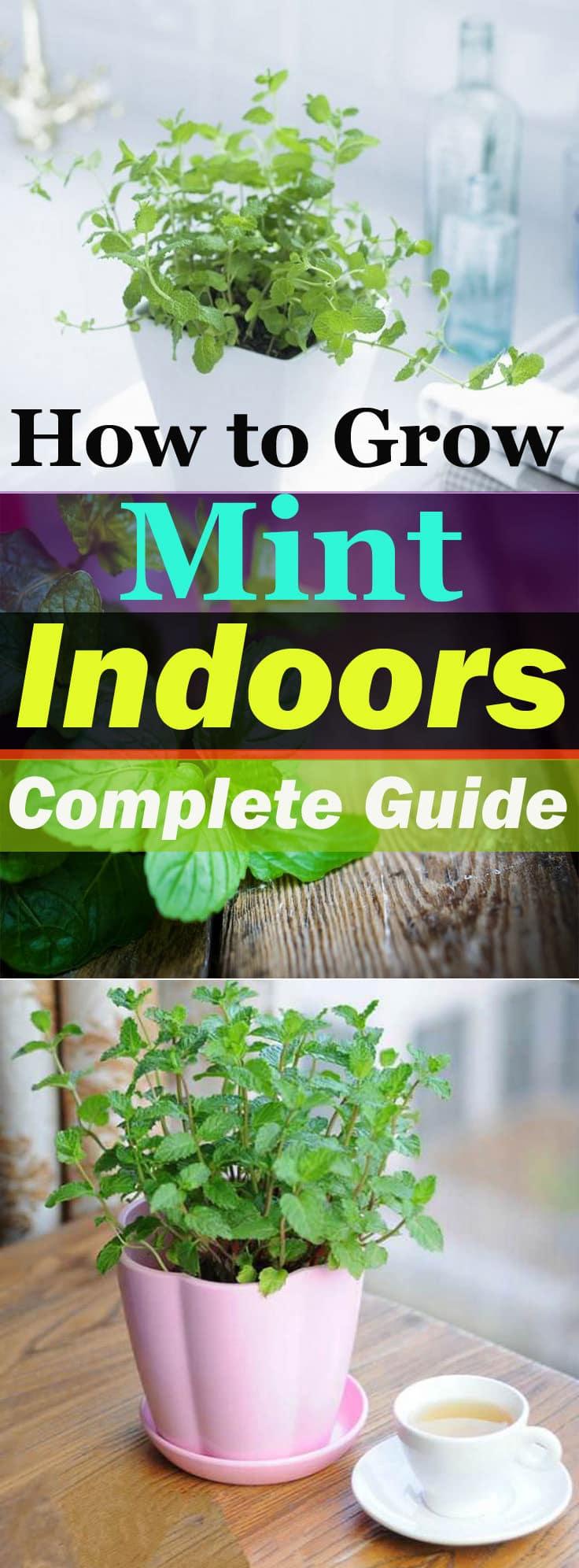 Growing Mint Indoors Amp How Care Balcony Garden Web