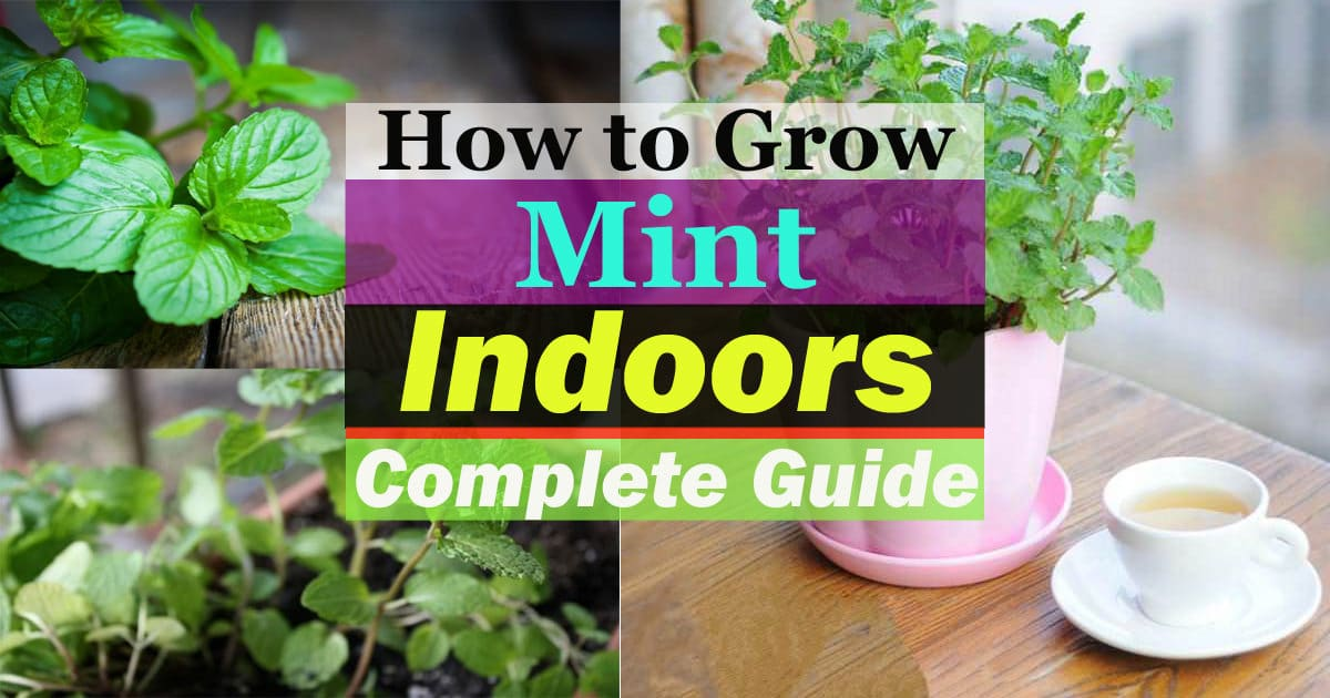 Growing Mint Indoors & How To Care It | Balcony Garden Web