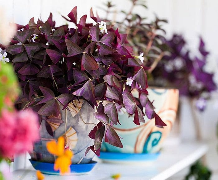 17 best flowering houseplants balcony garden web this beautiful flowering houseplant can adorn your house with showy purple foliage and white or pink flowers place it at a bright spot for abundant blooms mightylinksfo Gallery