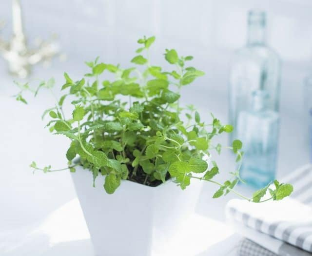 However, Mint (or Any Other Herb) Growing Indoors Canu0027t Grow As Vigorously  As Outdoors. Still, You Can Enjoy Those Freshly Picked Leaves Year Round,  ...