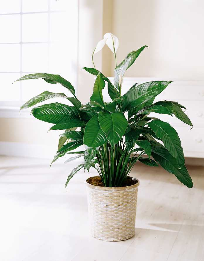 If You Want To Grow A Low Care Plant Peace Lily Inside Your Home It Can Live Without Water For Days S Beautiful White Flowers Flourish