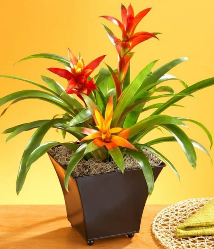 potted bromeliad indoor plant
