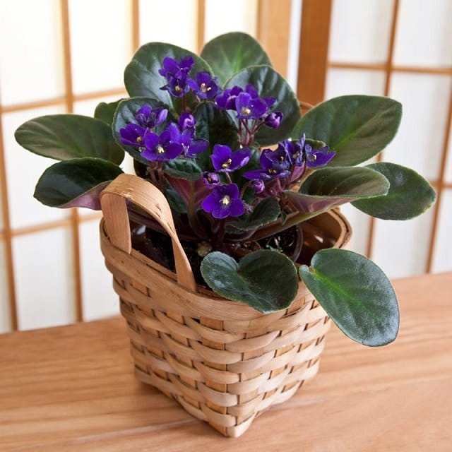 Flowering House Plants Purple warm up your home this winter with these 9 colors of houseplants