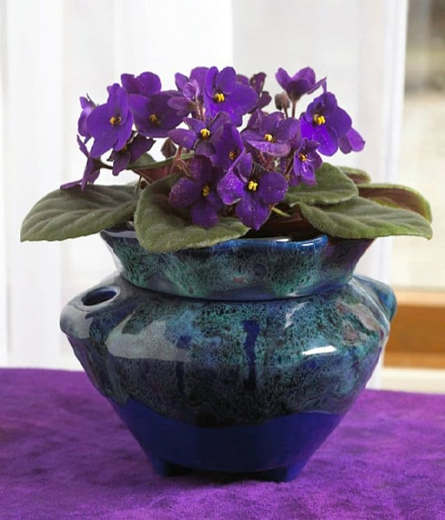 african violets are among the most easy to care flowering houseplants they produce delicate mauve flowers with little effort from your side