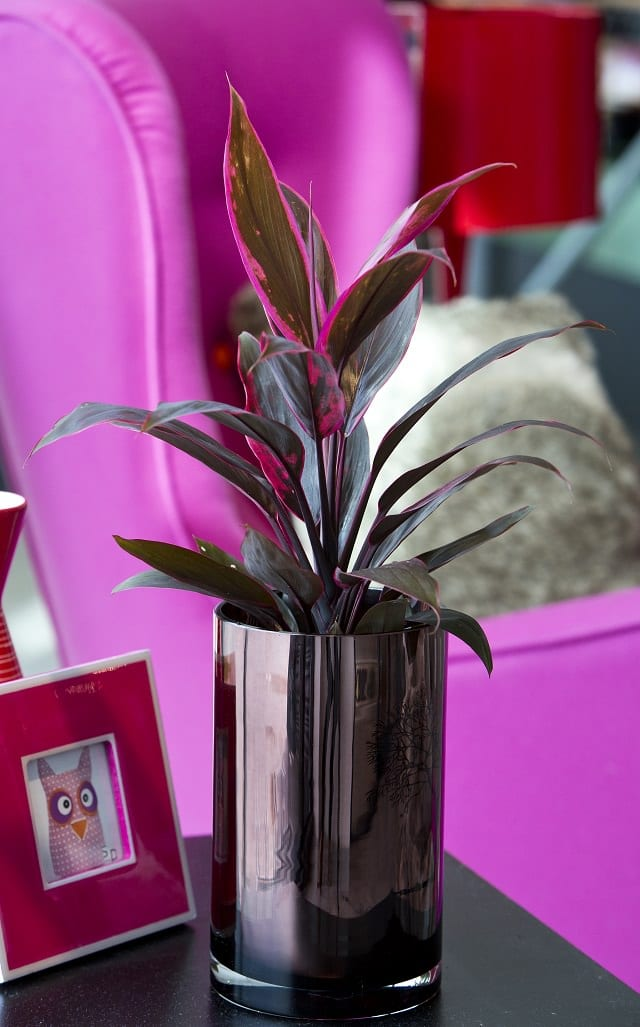 Cordyline-Ti-Plant-indoor House Plant With Fuzzy Leaves Purple on house plants with purple flowers, house plant identification leaves, osteospermum double 3d purple,