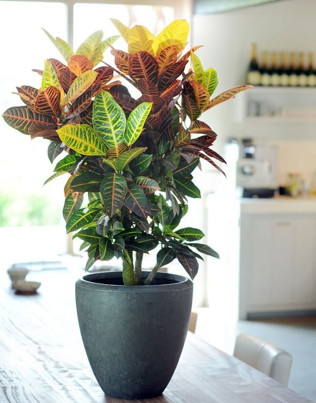croton - House Plants