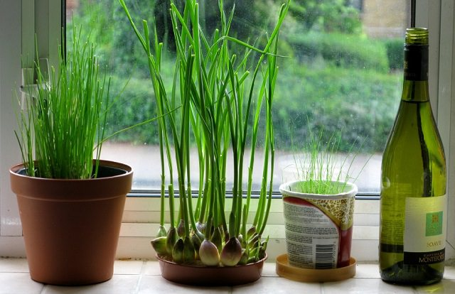 When To Plant Garlic Indoors