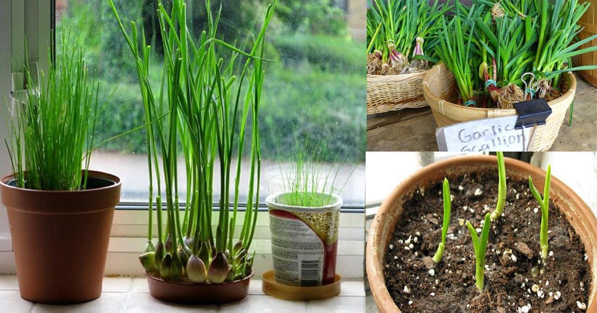 How To Grow Garlic Indoors Growing Garlic Indoors: weird plants to grow indoors
