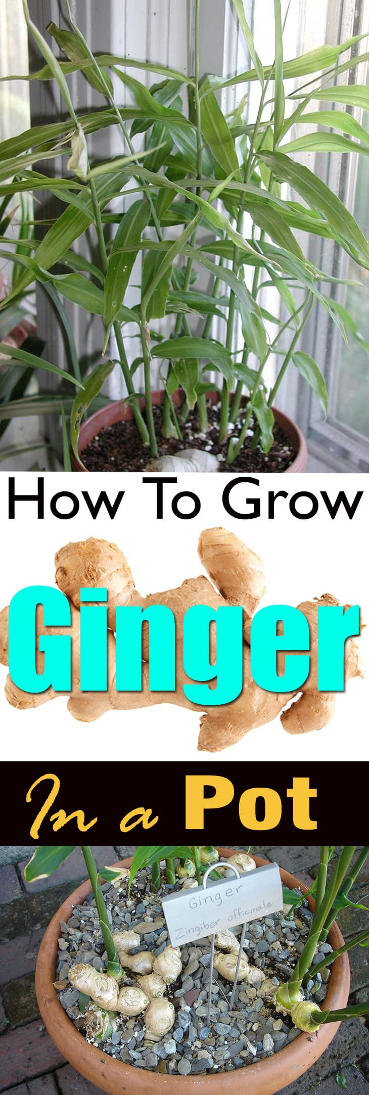 How To Grow Ginger In Pot | Growing Ginger Indoors | Balcony ...