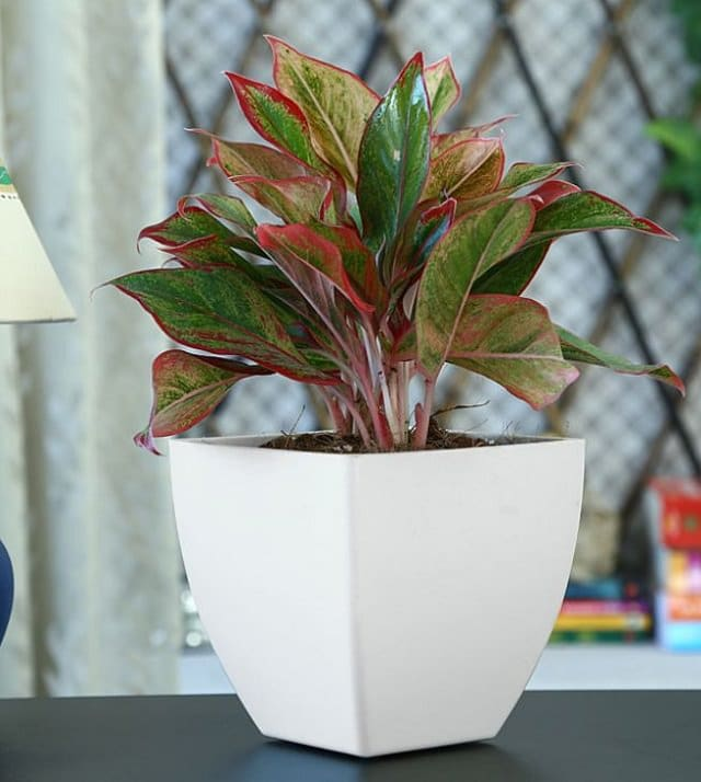 Red-Aglaonema-houseplant Red Aglaonema Houseplants on red gerbera, red crotons, red fittonia, red house plants, red camellia, red acacia, red allamanda, red flowering plants, red narcissus, red photinia, red pineapple, red anthurium, red zebra plant, red peace lily, red tropical plants names, red angelonia, red aster, red variegated plants, red wandering jew, red anemone,