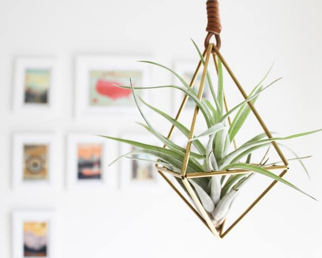 Tillandsia Is A Genus Of Air Plants Native To The Deserts, Forests And  Mountains Of Central And South America. Air Plants Are Epiphyte, Meaning  They Donu0027t ...