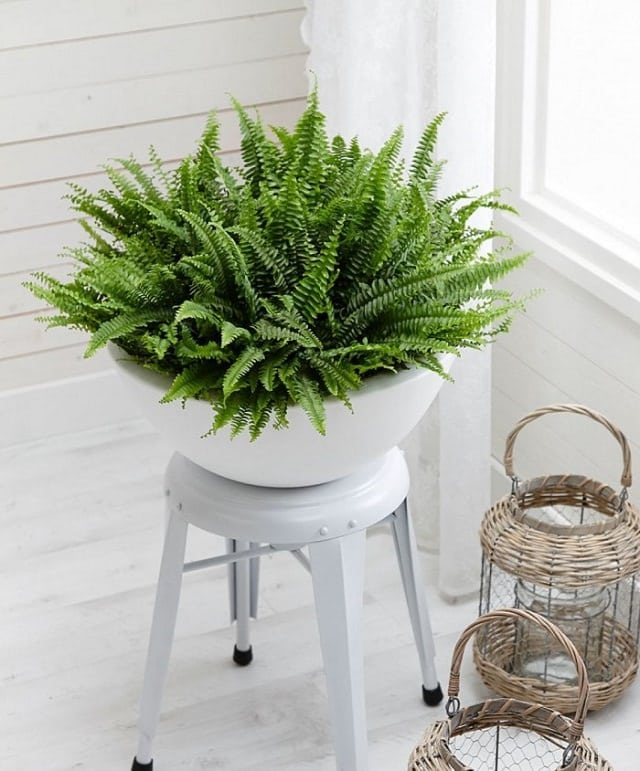 Boston Fern Plant Care | Houseplants Flowers